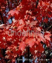 進口美國紅楓種子 1