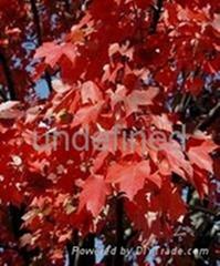 进口美国红枫种子