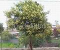 澳洲黒木相思種子 1