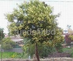 澳洲黒木相思種子