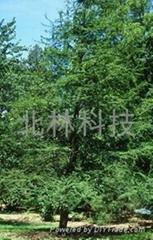 墨西哥落羽杉種子