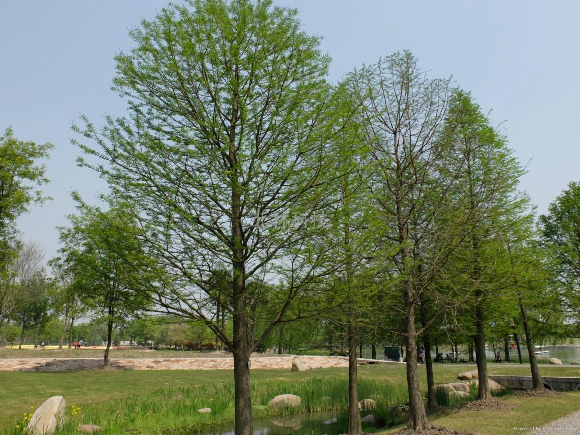 墨西哥落羽杉種子 2