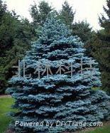 科羅拉多藍杉種子 1