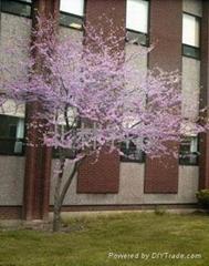 進口加拿大紫荊種子