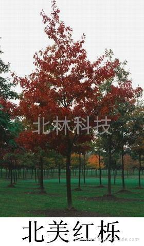 進口北美紅櫟種子 1