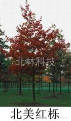 進口北美紅櫟種子