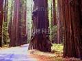進口北美紅杉種子供應
