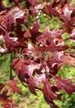 美國進口娜塔櫟種子