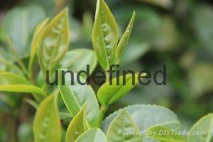 tea extract powder (instant tea powder) 1