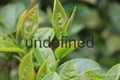 tea extract powder (instant tea powder)
