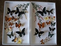 PAINTING BUTTERFLY FROM VIET NAM 2
