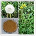 Organic dandelion root extract