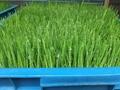 Germination machine/ Barley machine/ Seed germination machine 3