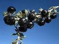 black wolfberry 3