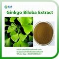 Natural Ginkgo Biloba Extract