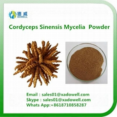 High quality Cordyceps Sinensis Mycelia