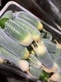 Whole sale fresh green radish In China