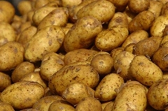Fresh bulky Potatoes for export