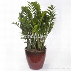 Money tree Zamioculcas zamiifolia