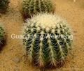 Echinocactus Grusonii Golden Ball