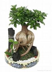 High Quality Ornamental Ficus Bonsai