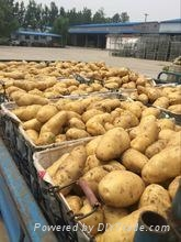 2016 new farm fresh yellow potato (Holland )
