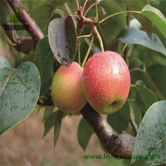 Liaoning Specialty of Fresh Nanguo Pear