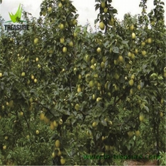 Fresh Nanguo Pear Only Produce in Liaoning