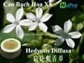 Hedyotis diffusa extract