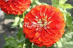 供應百日草花卉種子