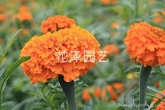 供應萬壽菊花卉種子
