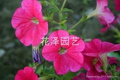 供應矮牽牛花卉種子