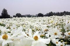 供應波斯菊花卉種子