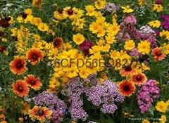 供应野花组合种子