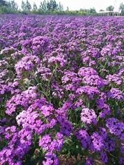 供應美國石竹藍紫色種子