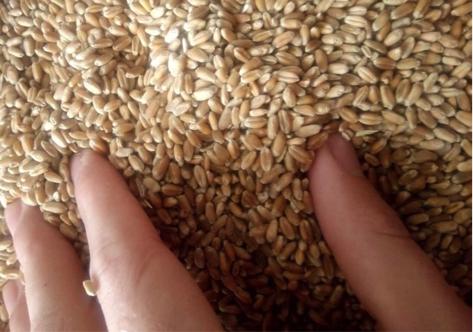 Wheat, 3 Grade 5