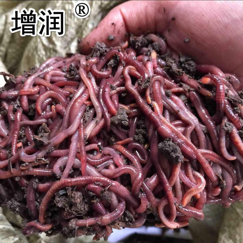 大平三號蚯蚓種全國發貨 2