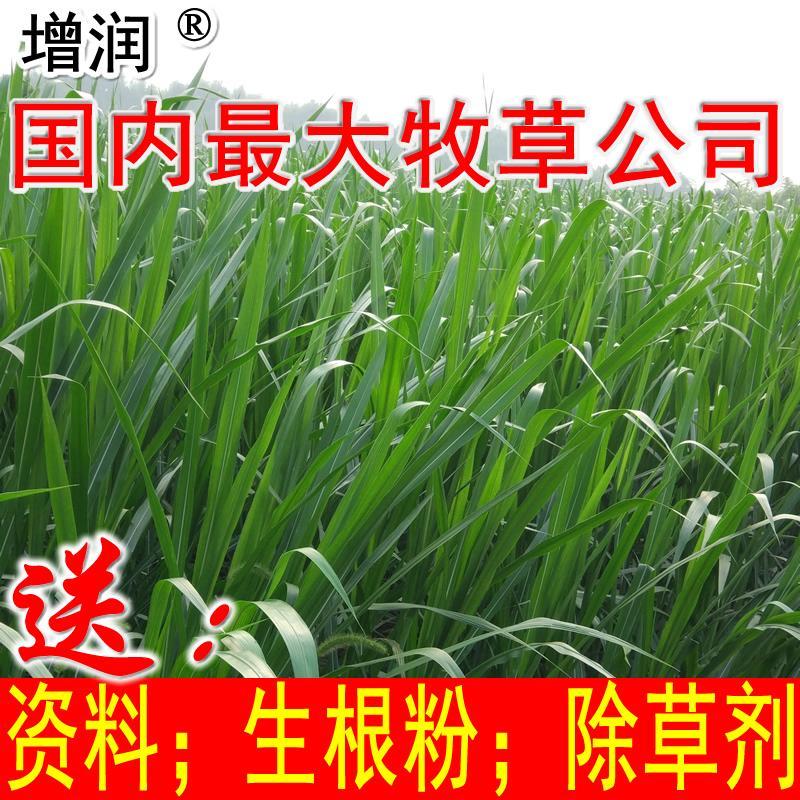 新型皇竹草種節 1