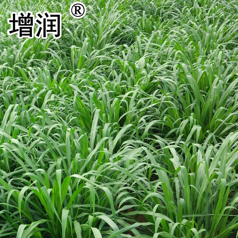 新型皇竹草種節 2