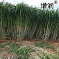 新型皇竹草種節 3
