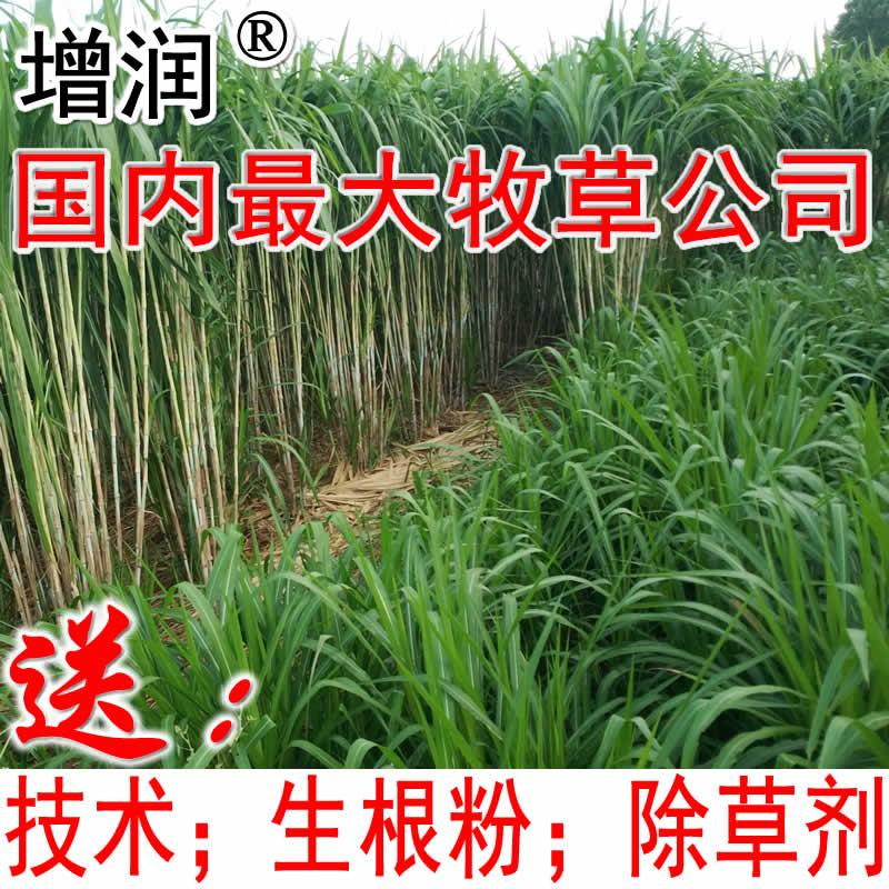 臺灣甜象草種節 1