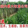 台湾甜象草种节 1
