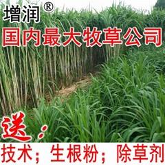台湾甜象草种节