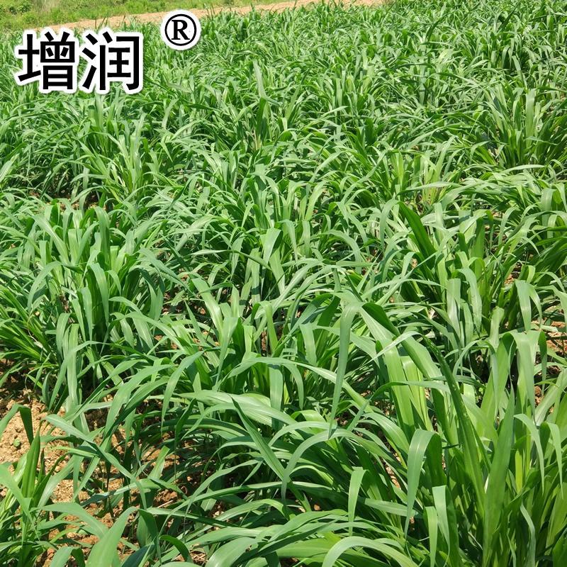臺灣甜象草種節 4