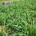 台湾甜象草种节 4