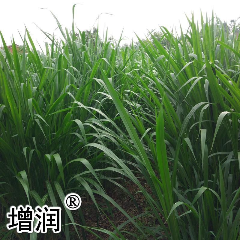 臺灣甜象草種節 5