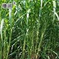 巨菌草種節批發包郵 3