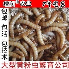 黄粉虫种虫虫卵包邮
