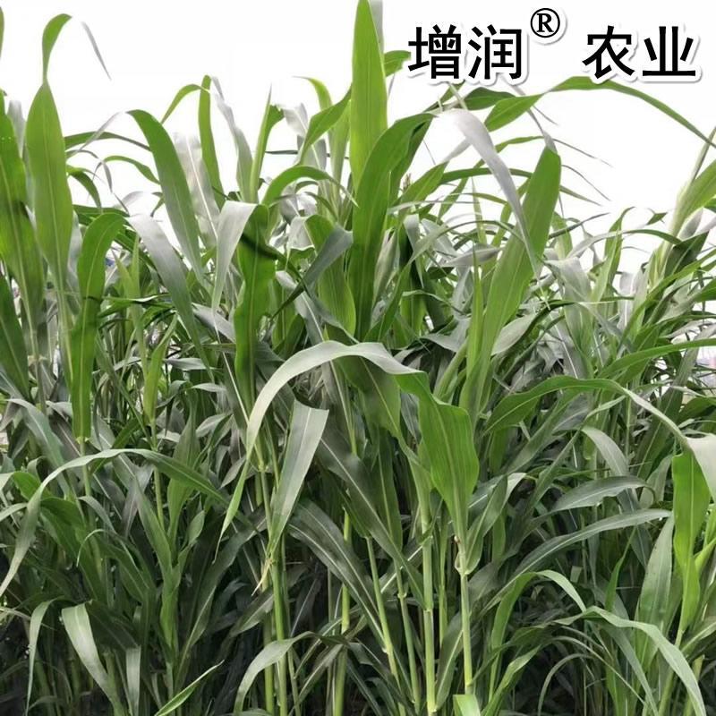甜高粱種子包郵 甜高粱牧草種子養殖草種 3