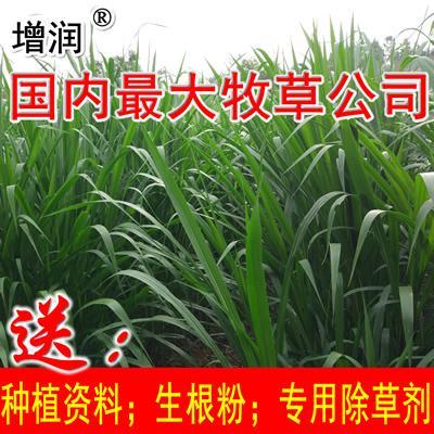 增潤草種節包郵 高產牧草增潤草種子種苗 1